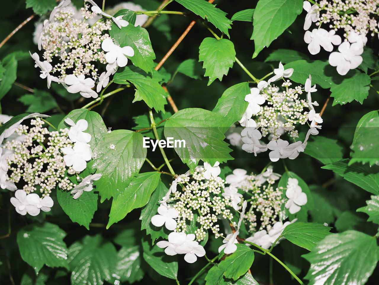 leaf, plant, growth, nature, flower, green color, white color, beauty in nature, freshness, fragility, day, no people, outdoors, petal, blooming, flower head, lantana camara, close-up, animal themes