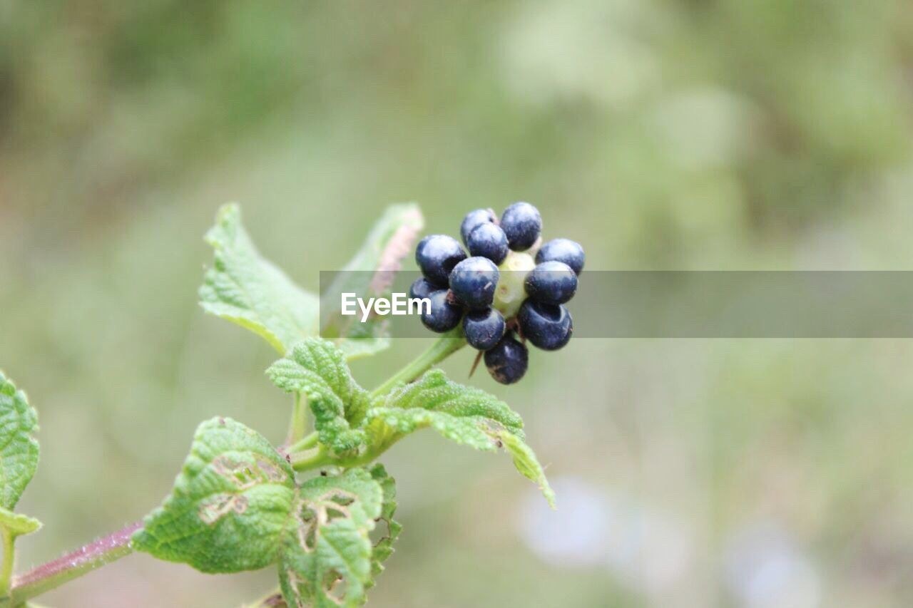 fruit, food and drink, focus on foreground, growth, healthy eating, green color, plant, close-up, no people, nature, food, freshness, outdoors, leaf, day, black olive
