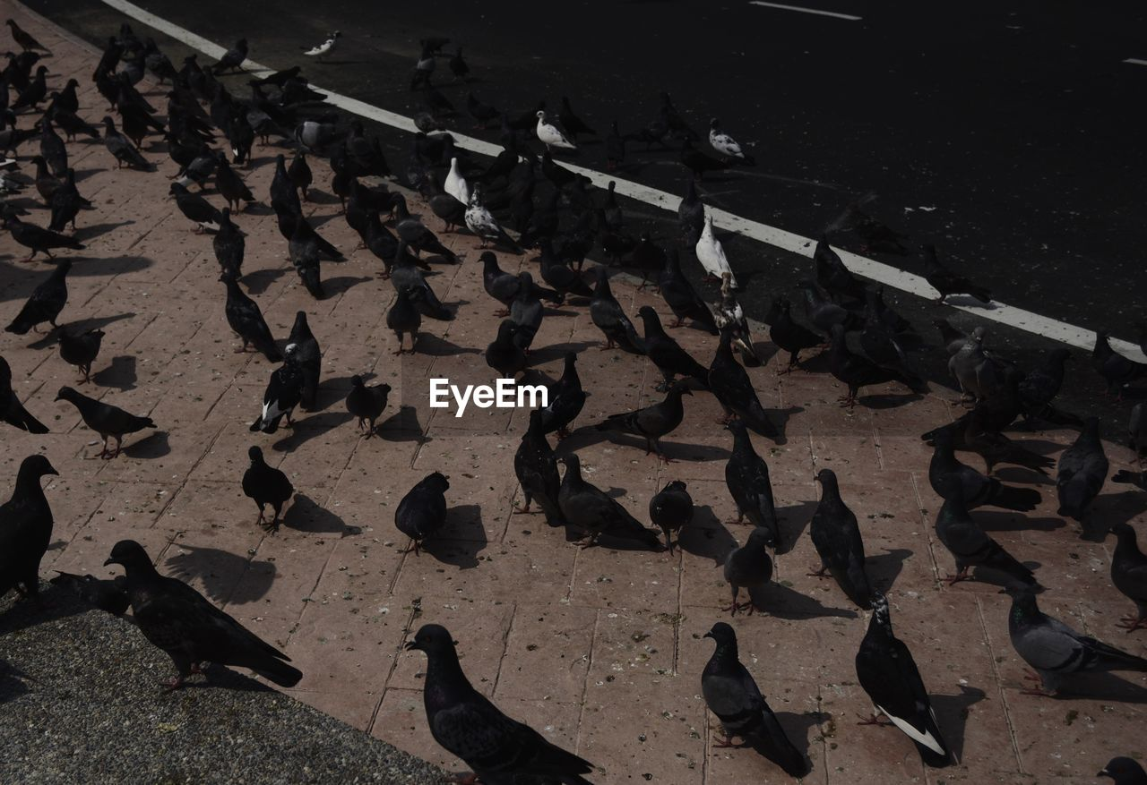 HIGH ANGLE VIEW OF PIGEONS ON COBBLESTONE