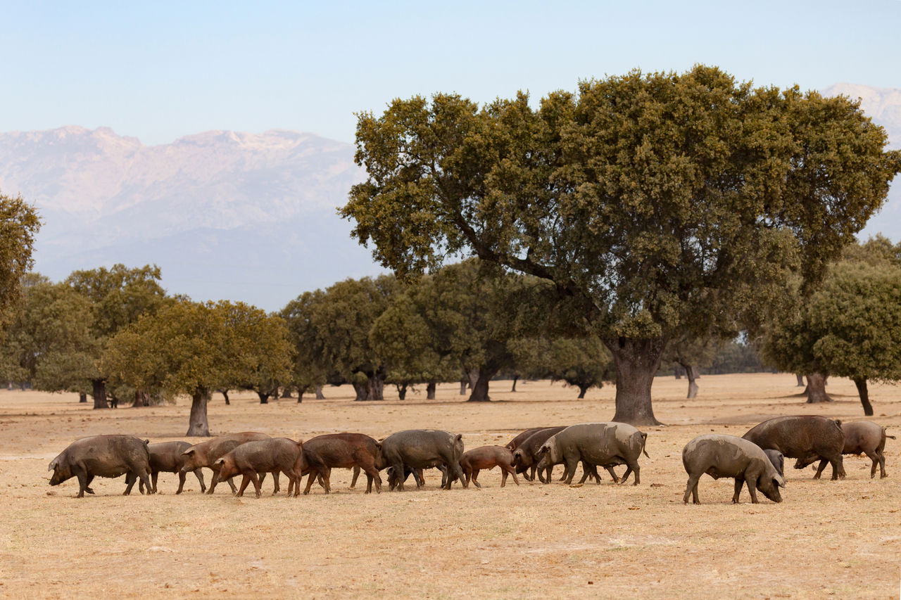 plant, tree, group of animals, animal, mammal, animal themes, animals in the wild, animal wildlife, vertebrate, nature, large group of animals, no people, field, domestic animals, day, livestock, land, sky, landscape, environment, herd, outdoors, herbivorous, animal family