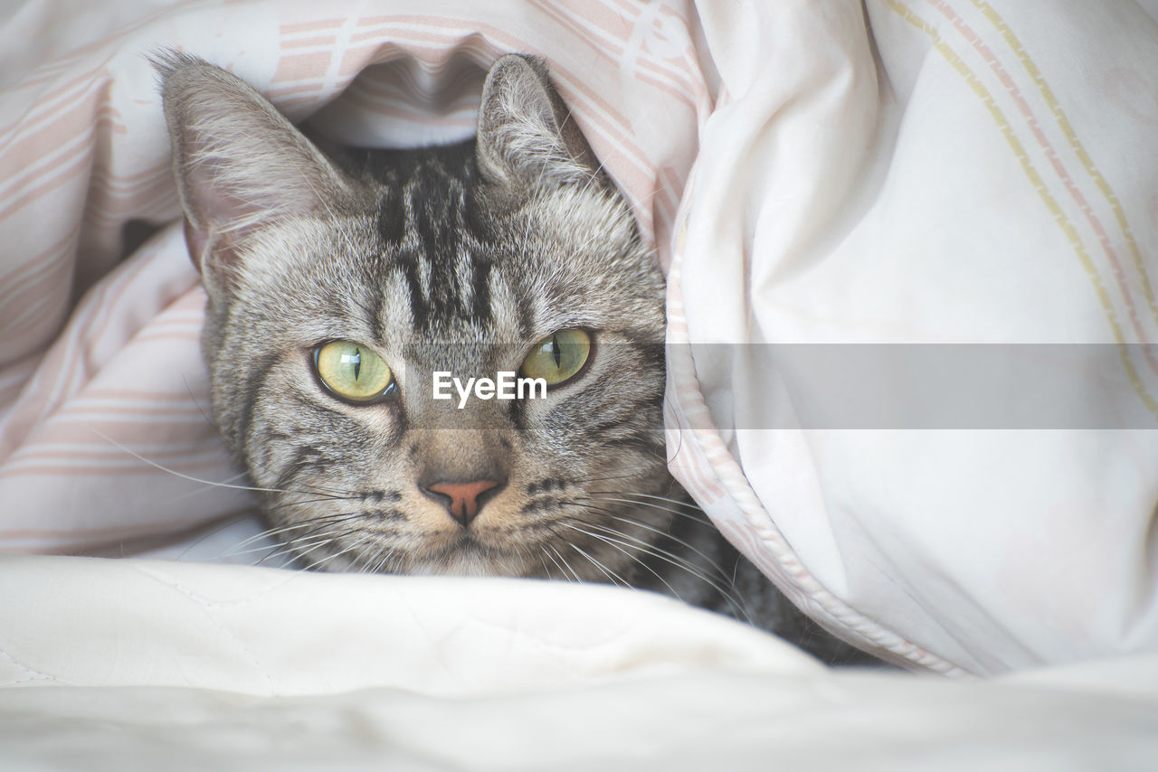 domestic, cat, domestic animals, domestic cat, pets, mammal, feline, one animal, animal themes, animal, vertebrate, looking at camera, bed, portrait, indoors, furniture, relaxation, no people, close-up, lying down, whisker, animal head, animal eye, yellow eyes