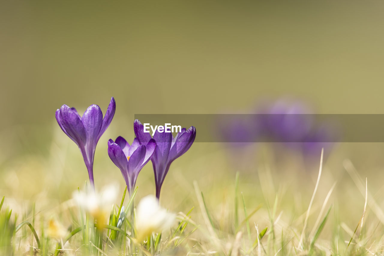 flowering plant, flower, plant, beauty in nature, fragility, vulnerability, freshness, growth, purple, petal, close-up, nature, land, field, no people, selective focus, inflorescence, crocus, flower head, day, iris, outdoors