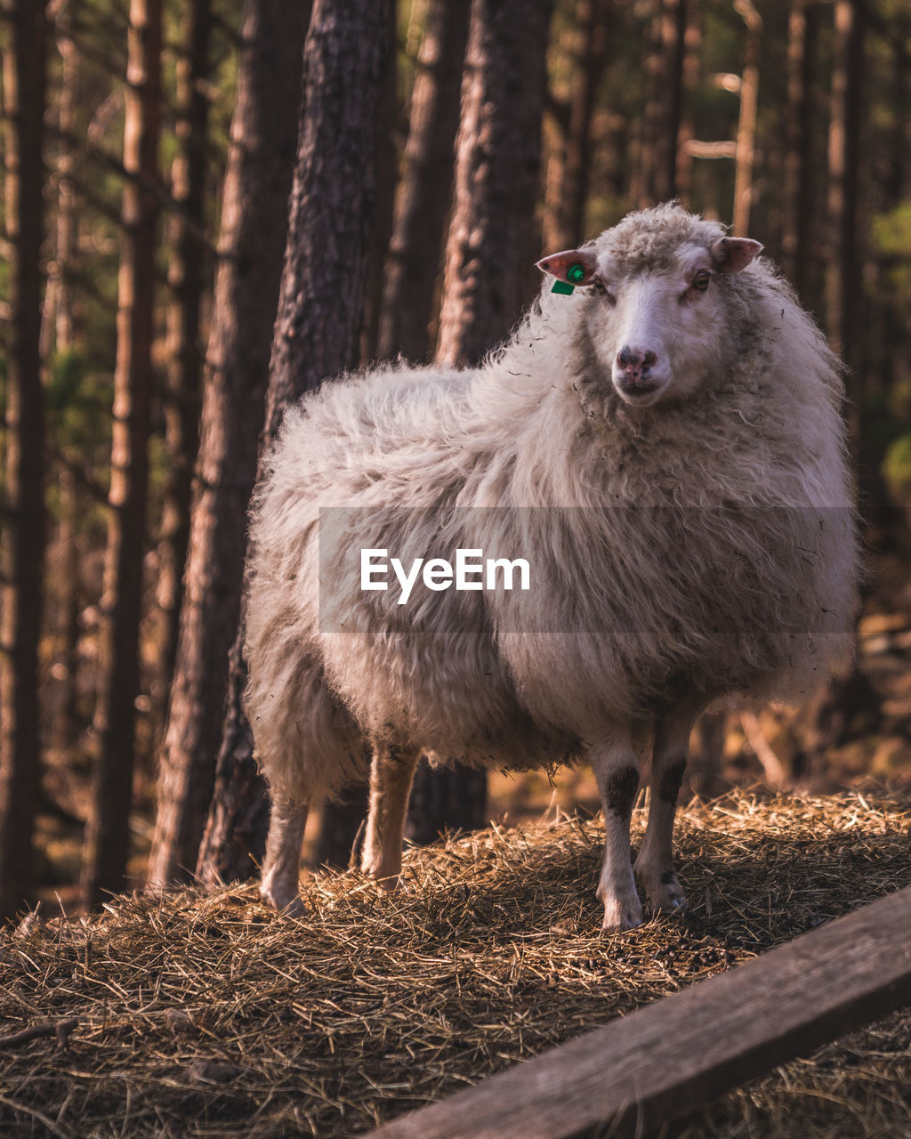 animal themes, animal, land, mammal, tree, vertebrate, livestock, forest, one animal, domestic animals, pets, domestic, plant, nature, field, standing, day, no people, sheep, trunk, outdoors, woodland, herbivorous