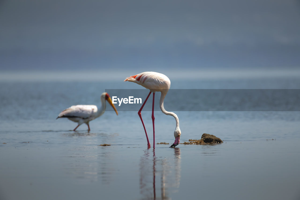 animal themes, water, animal, animal wildlife, animals in the wild, bird, vertebrate, group of animals, sea, beauty in nature, day, no people, nature, two animals, selective focus, flamingo, tranquility, beach