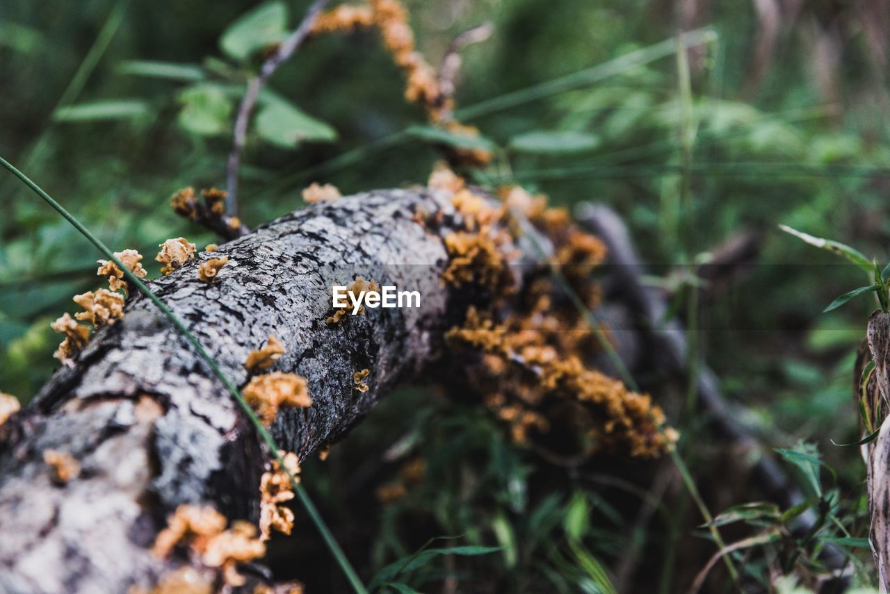 Close-up of fungus growing on fallen tree