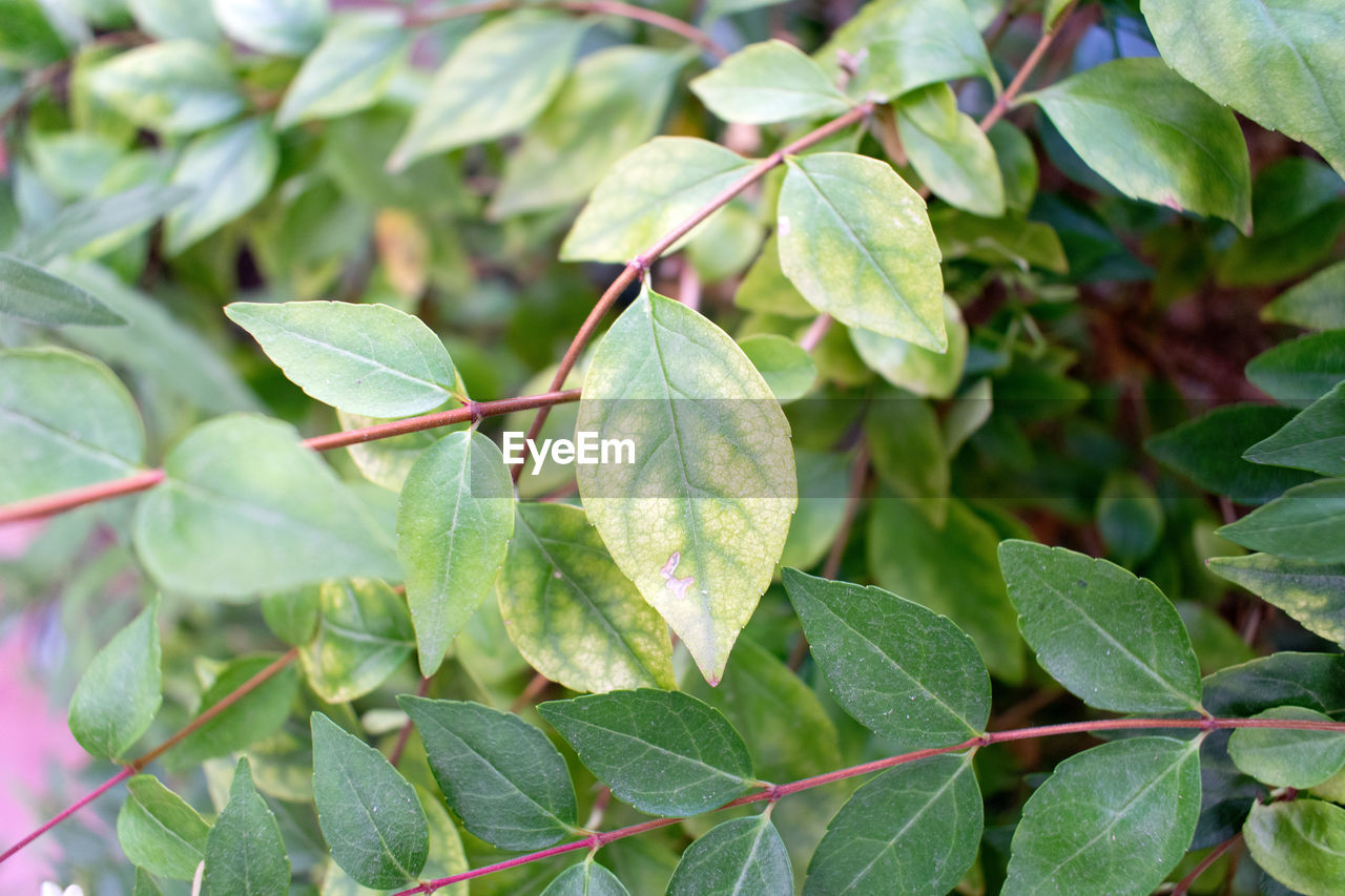 leaf, plant part, green color, growth, plant, close-up, nature, no people, day, beauty in nature, food and drink, food, focus on foreground, fruit, outdoors, freshness, healthy eating, leaf vein, high angle view, leaves