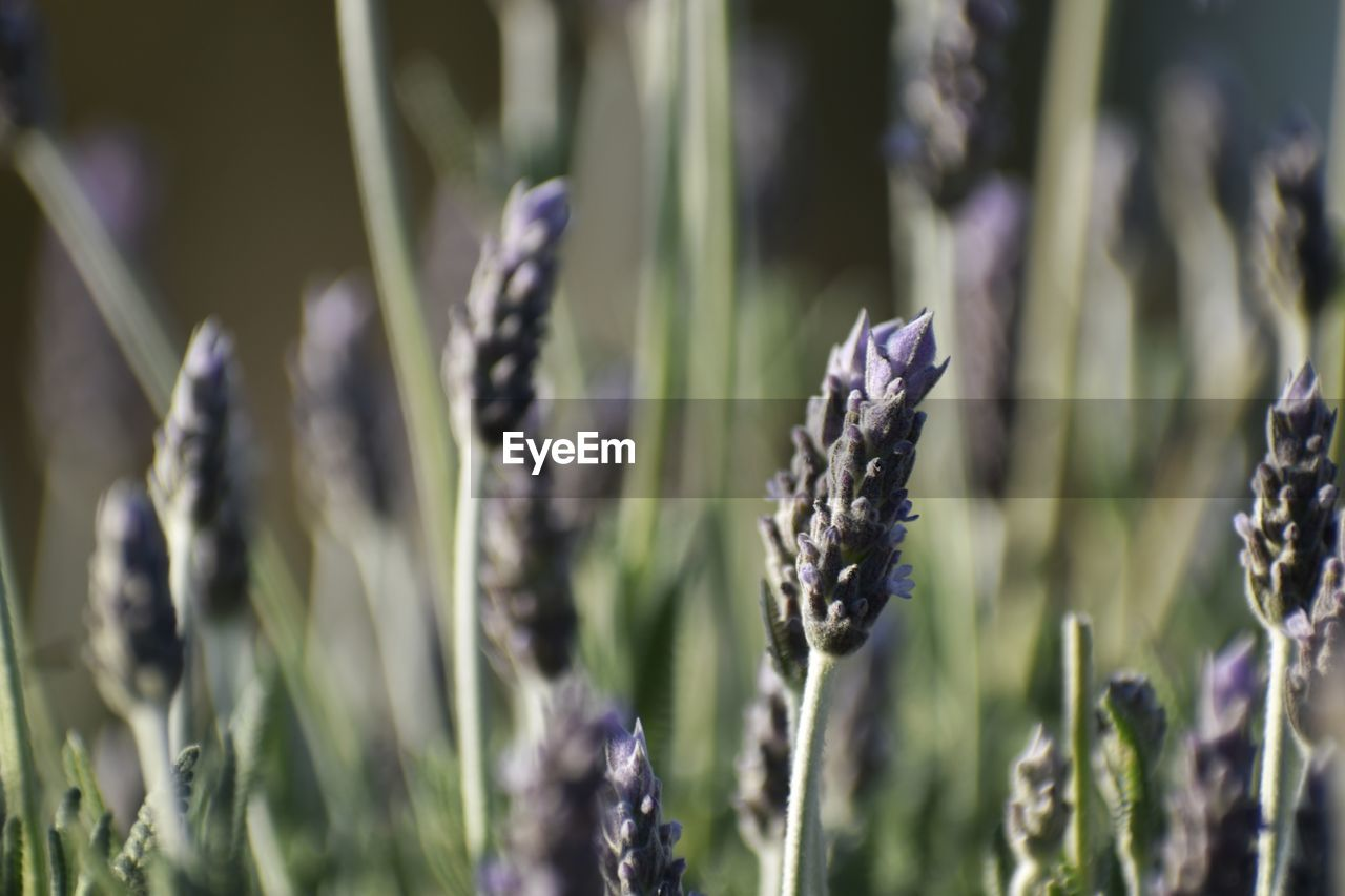 growth, plant, beauty in nature, close-up, field, nature, land, no people, day, focus on foreground, crop, selective focus, flower, tranquility, flowering plant, vulnerability, outdoors, agriculture, fragility, freshness, purple