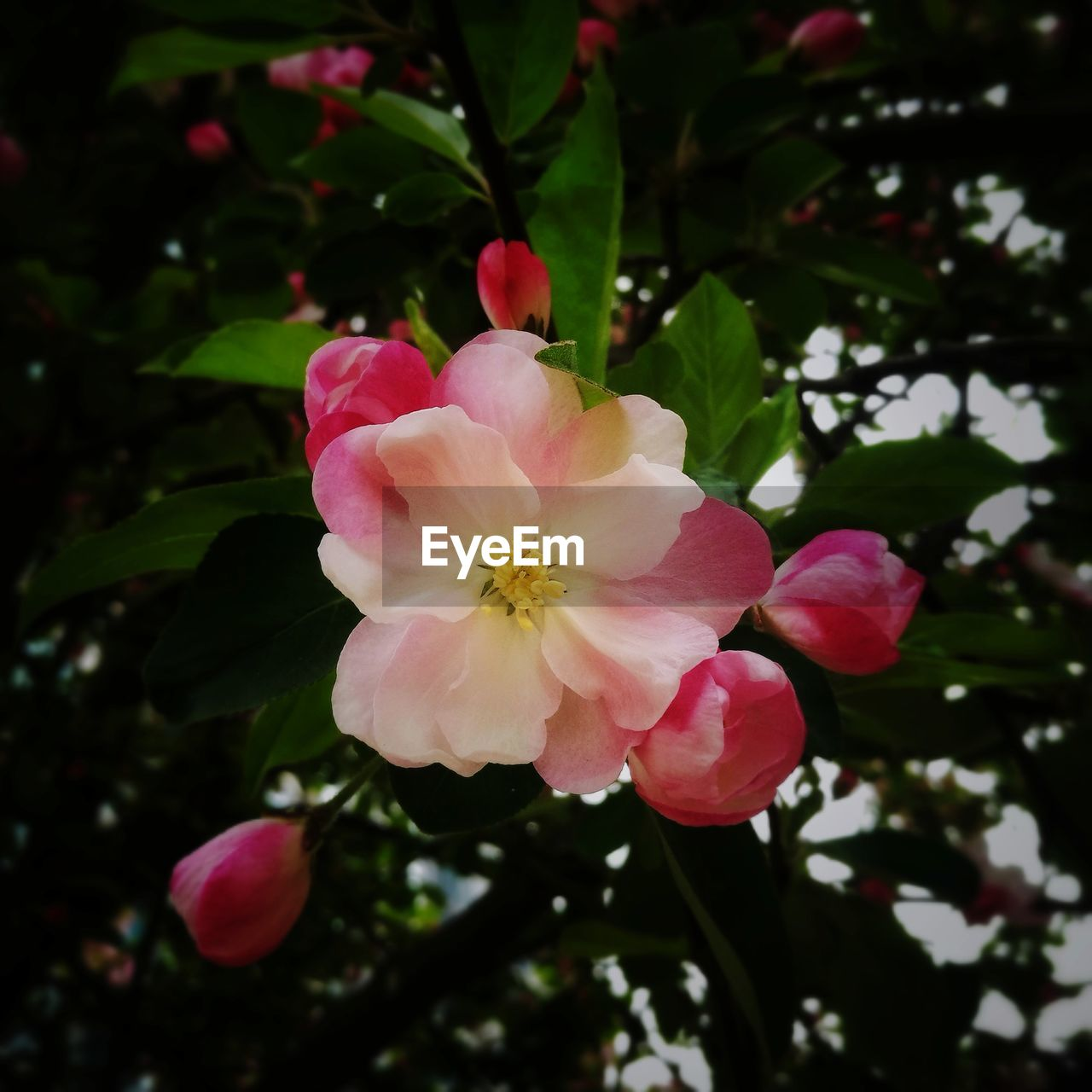 flower, petal, beauty in nature, nature, fragility, flower head, growth, freshness, pink color, wild rose, blooming, tree, day, outdoors, close-up, no people, periwinkle