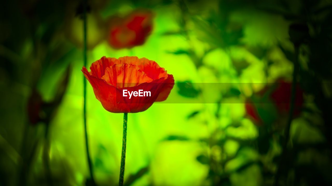 flower, flowering plant, beauty in nature, red, plant, vulnerability, fragility, petal, freshness, close-up, flower head, inflorescence, focus on foreground, growth, green color, nature, poppy, no people, selective focus, outdoors