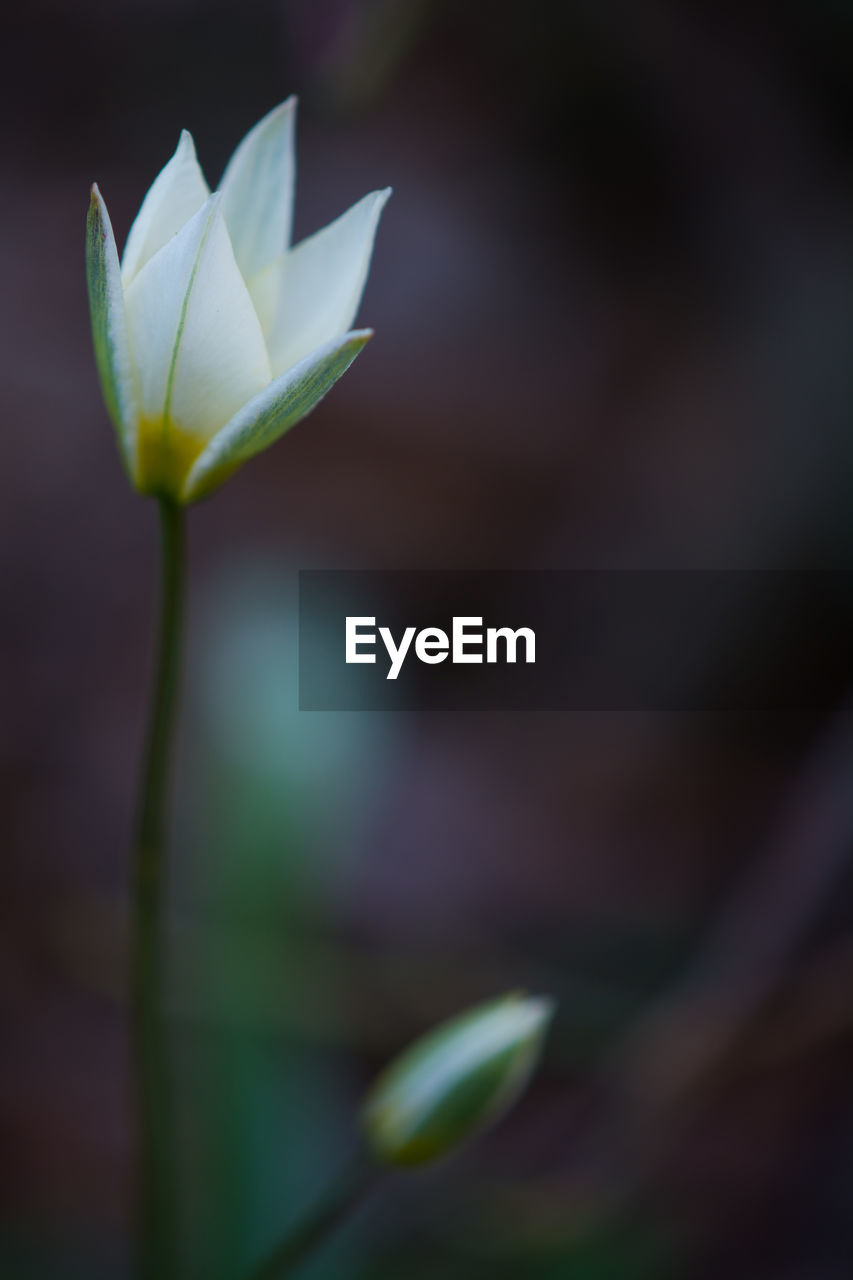flowering plant, vulnerability, flower, fragility, beauty in nature, plant, freshness, growth, close-up, petal, nature, flower head, inflorescence, selective focus, no people, plant stem, leaf, plant part, day, outdoors, sepal
