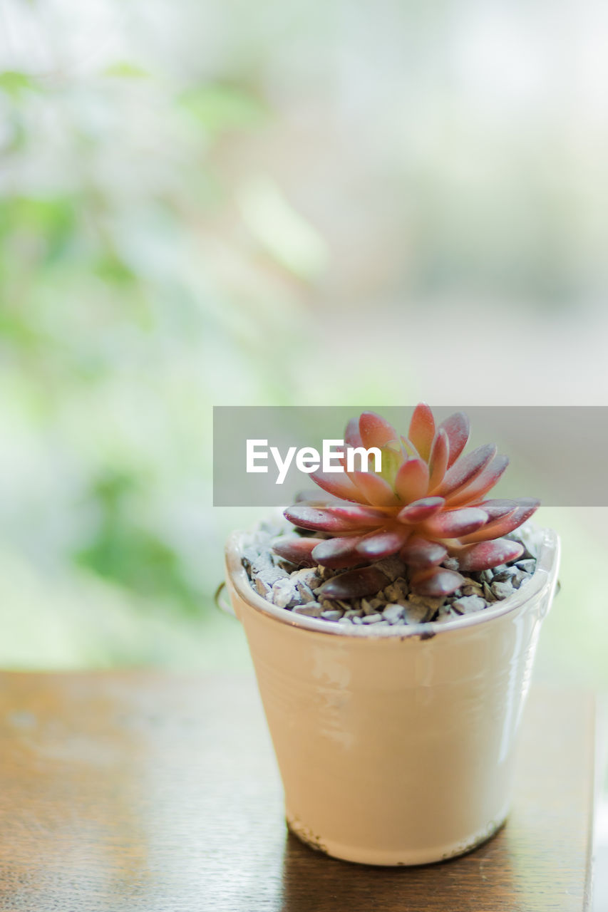 freshness, close-up, focus on foreground, no people, table, food, food and drink, day, plant, beauty in nature, flowering plant, flower, selective focus, nature, succulent plant, flower head, inflorescence, indoors, healthy eating, temptation