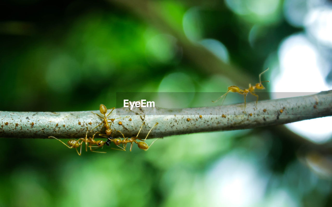 close-up, no people, focus on foreground, plant, day, nature, green color, growth, selective focus, beauty in nature, tree, outdoors, branch, plant part, plant stem, freshness, leaf, twig, ant, invertebrate