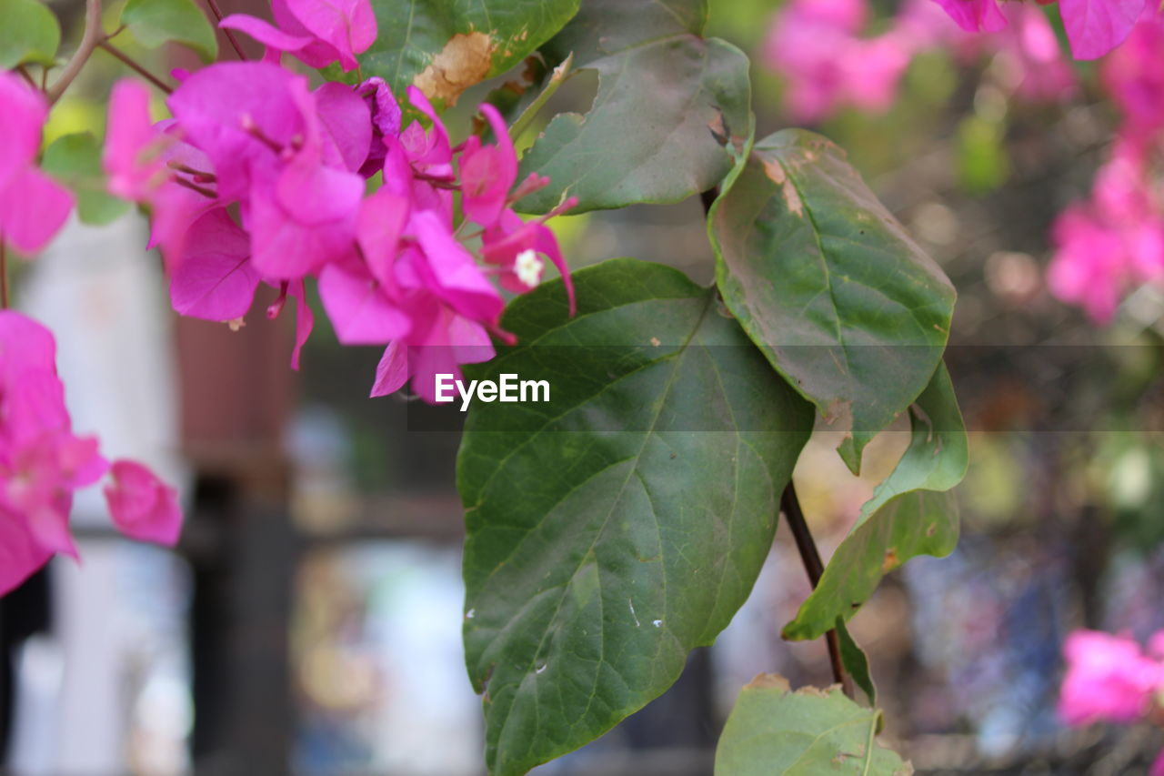 growth, leaf, nature, plant, beauty in nature, pink color, fragility, flower, freshness, green color, close-up, no people, outdoors, day, blooming, flower head