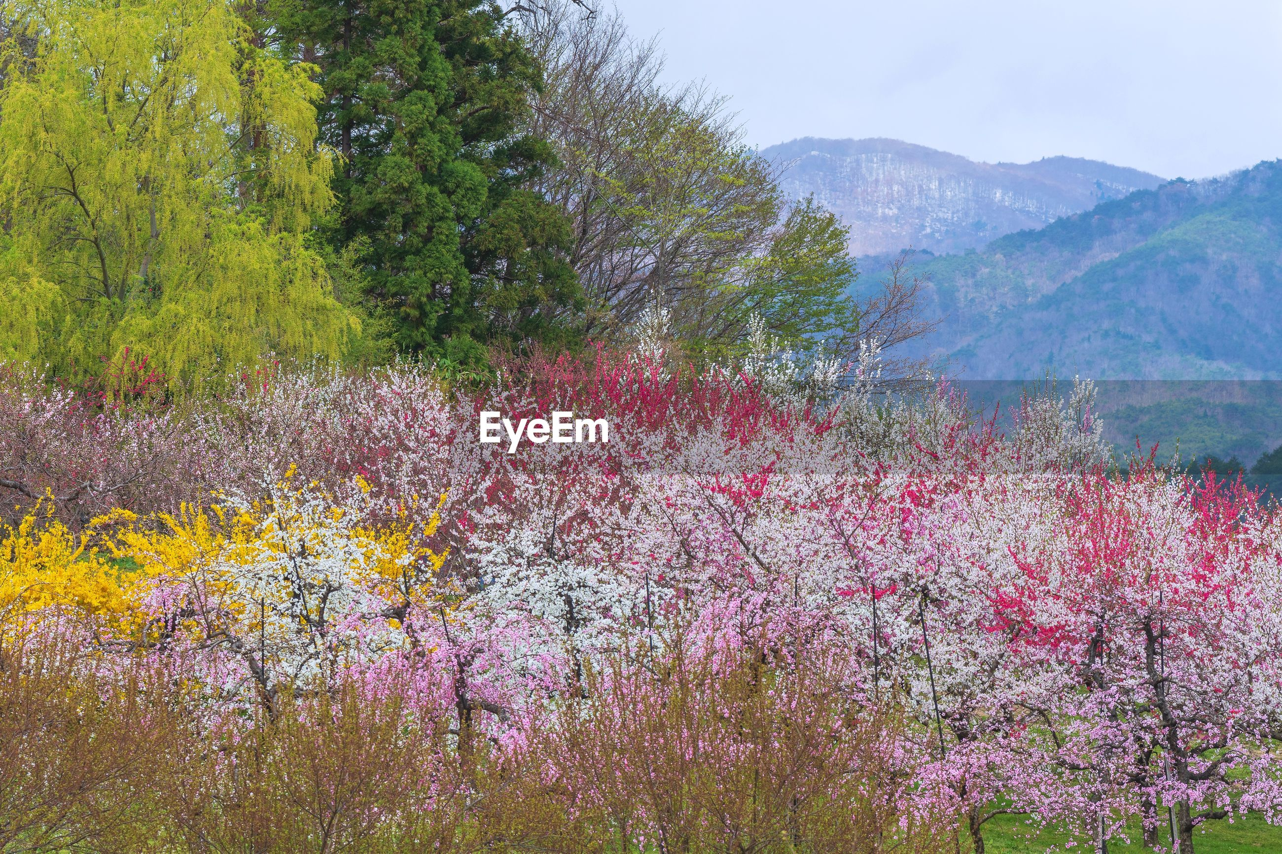 SCENIC VIEW OF PINK FLOWERING TREE