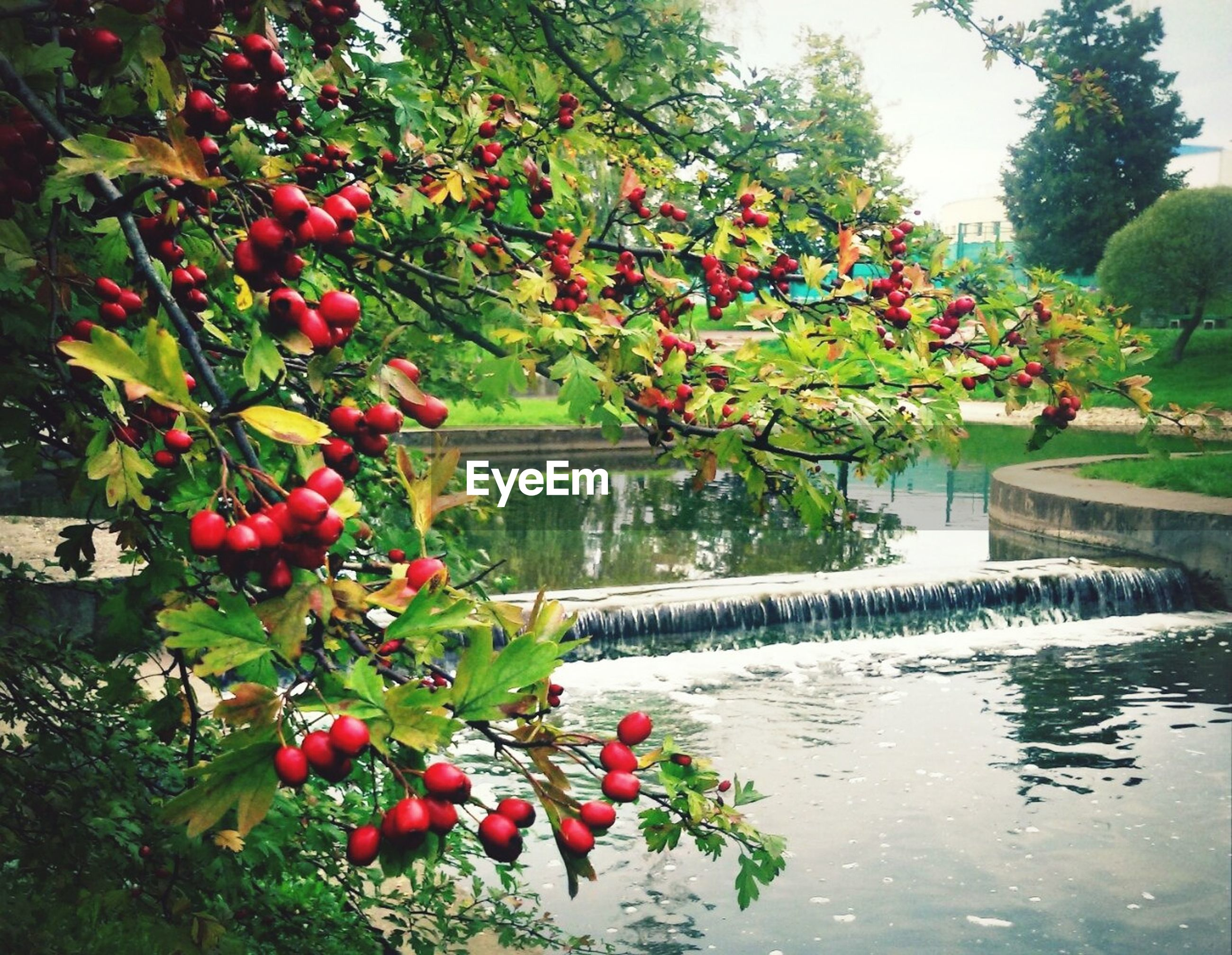 tree, water, growth, red, freshness, leaf, fruit, branch, nature, flower, beauty in nature, plant, green color, reflection, tranquility, day, lake, growing, outdoors, pond