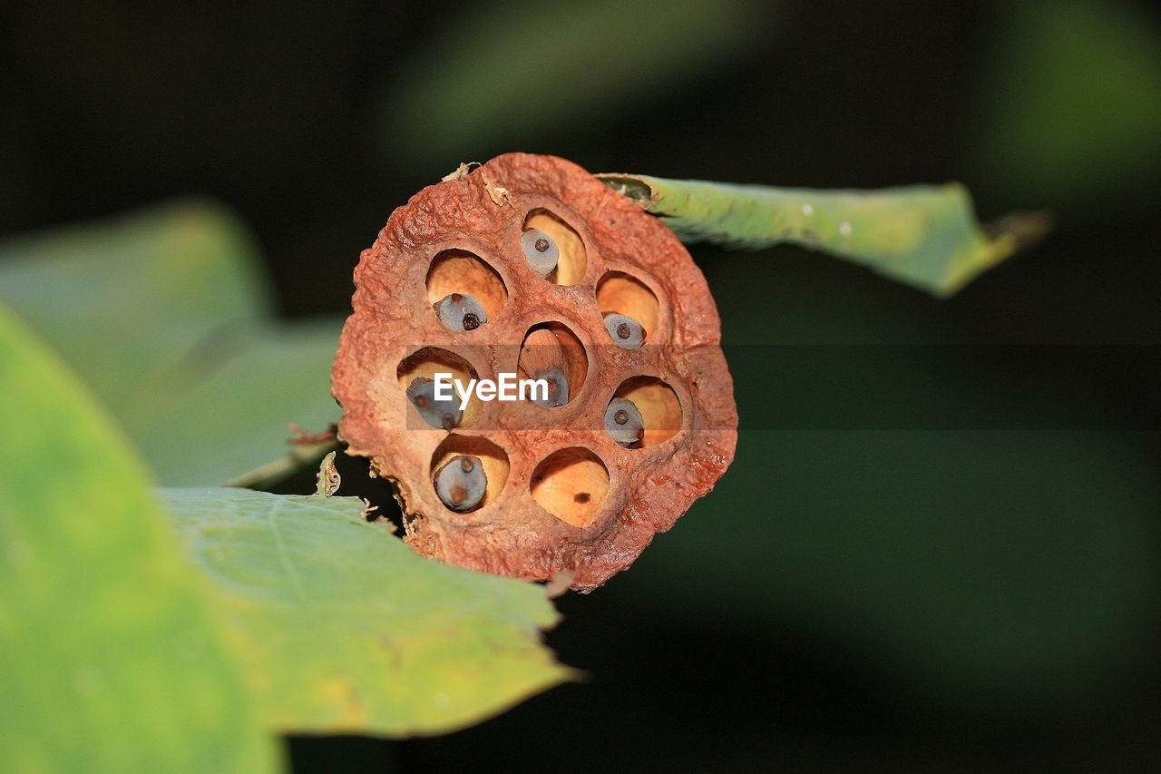Dry seed capsule of water lily in pond