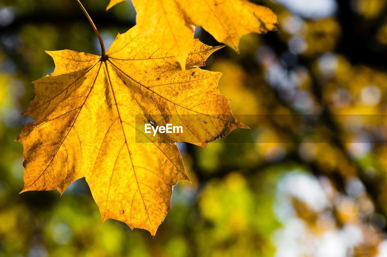 Close-Up Of Maple Leaf During Autumn
