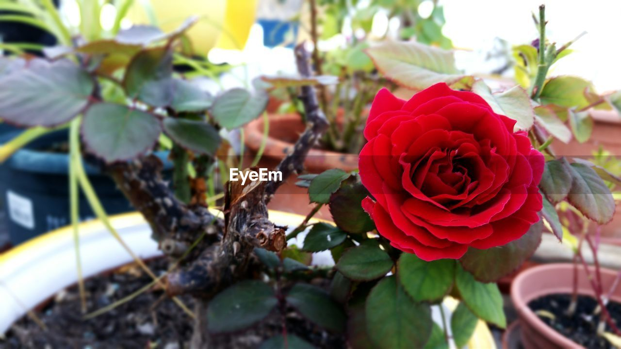 flower, nature, beauty in nature, growth, rose - flower, fragility, petal, plant, red, no people, freshness, leaf, outdoors, day, focus on foreground, flower head, close-up