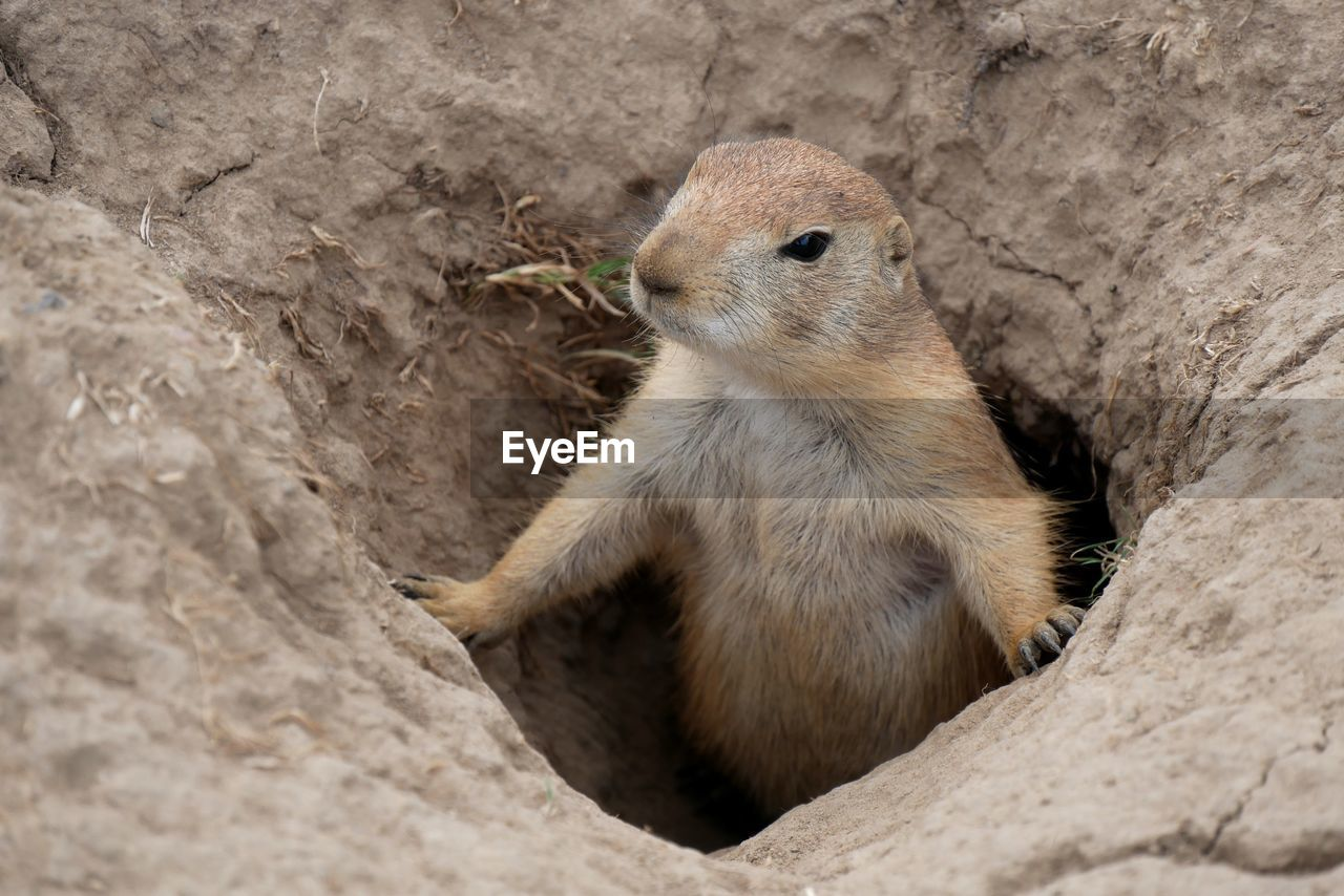 High angle view of rodent looking away in hole on land