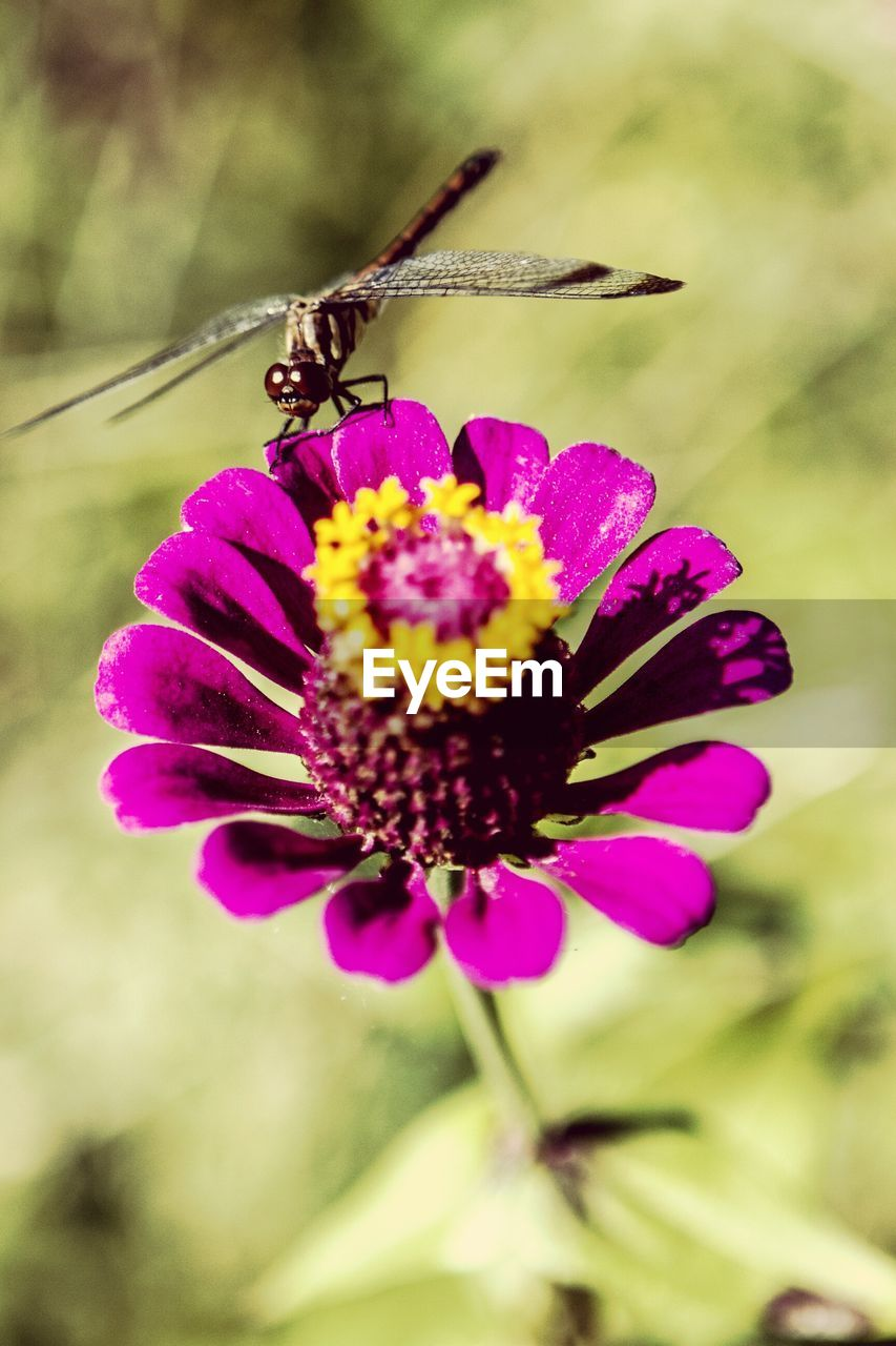 flower, petal, fragility, nature, beauty in nature, growth, freshness, purple, insect, plant, flower head, no people, focus on foreground, outdoors, day, animals in the wild, close-up, one animal, animal themes, blooming, pollination