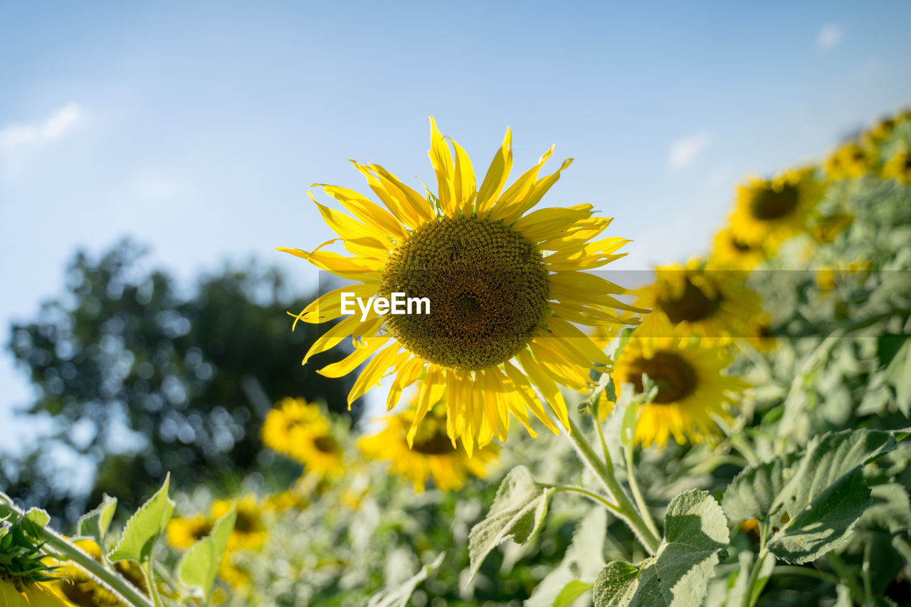 yellow, flower, flowering plant, growth, freshness, fragility, plant, beauty in nature, vulnerability, petal, flower head, nature, close-up, inflorescence, sky, sunflower, field, land, focus on foreground, day, pollen, no people, outdoors, pollination