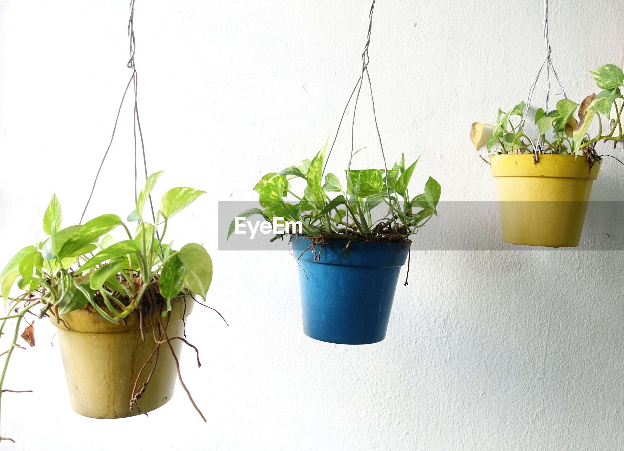 Close-up of potted plants hanging by white wall