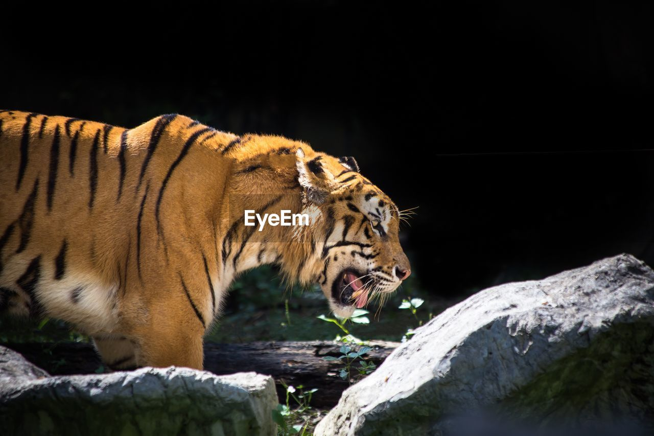 Tiger outdoors