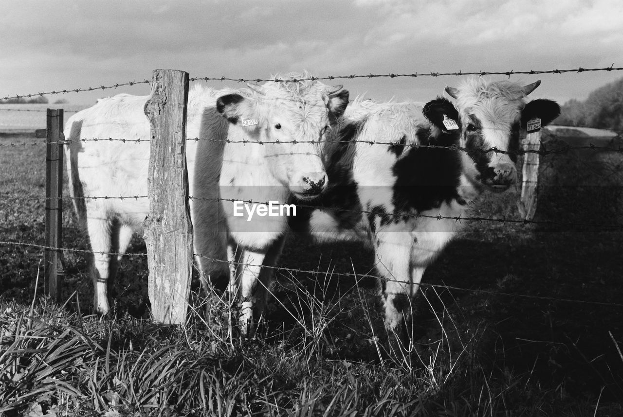 domestic, mammal, domestic animals, pets, group of animals, animal themes, livestock, animal, vertebrate, fence, barrier, boundary, field, nature, no people, land, sky, day, cattle, cloud - sky, herbivorous, outdoors, animal pen, herd, paddock, animal head, ranch
