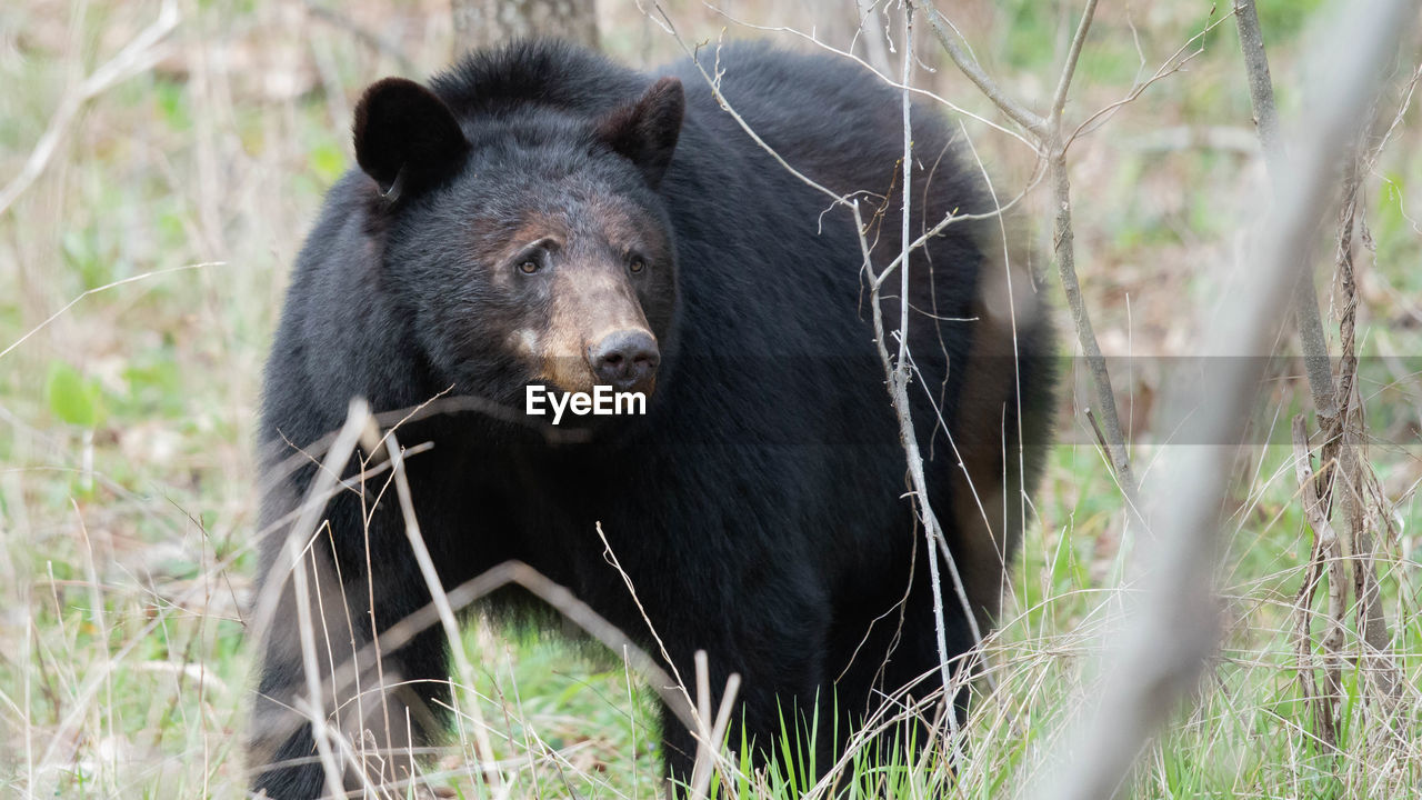 animal, animal themes, animal wildlife, mammal, one animal, animals in the wild, bear, plant, nature, no people, land, vertebrate, day, grass, tree, outdoors, field, portrait, black color