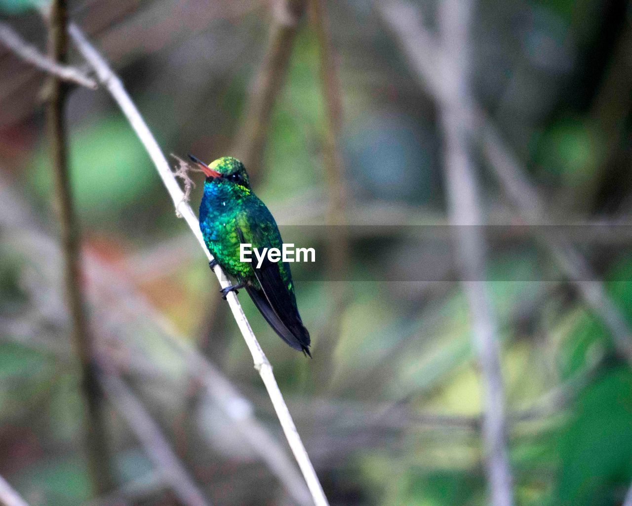 bird, one animal, animal themes, animals in the wild, focus on foreground, kingfisher, perching, nature, animal wildlife, day, no people, outdoors, branch, close-up, beauty in nature, tree