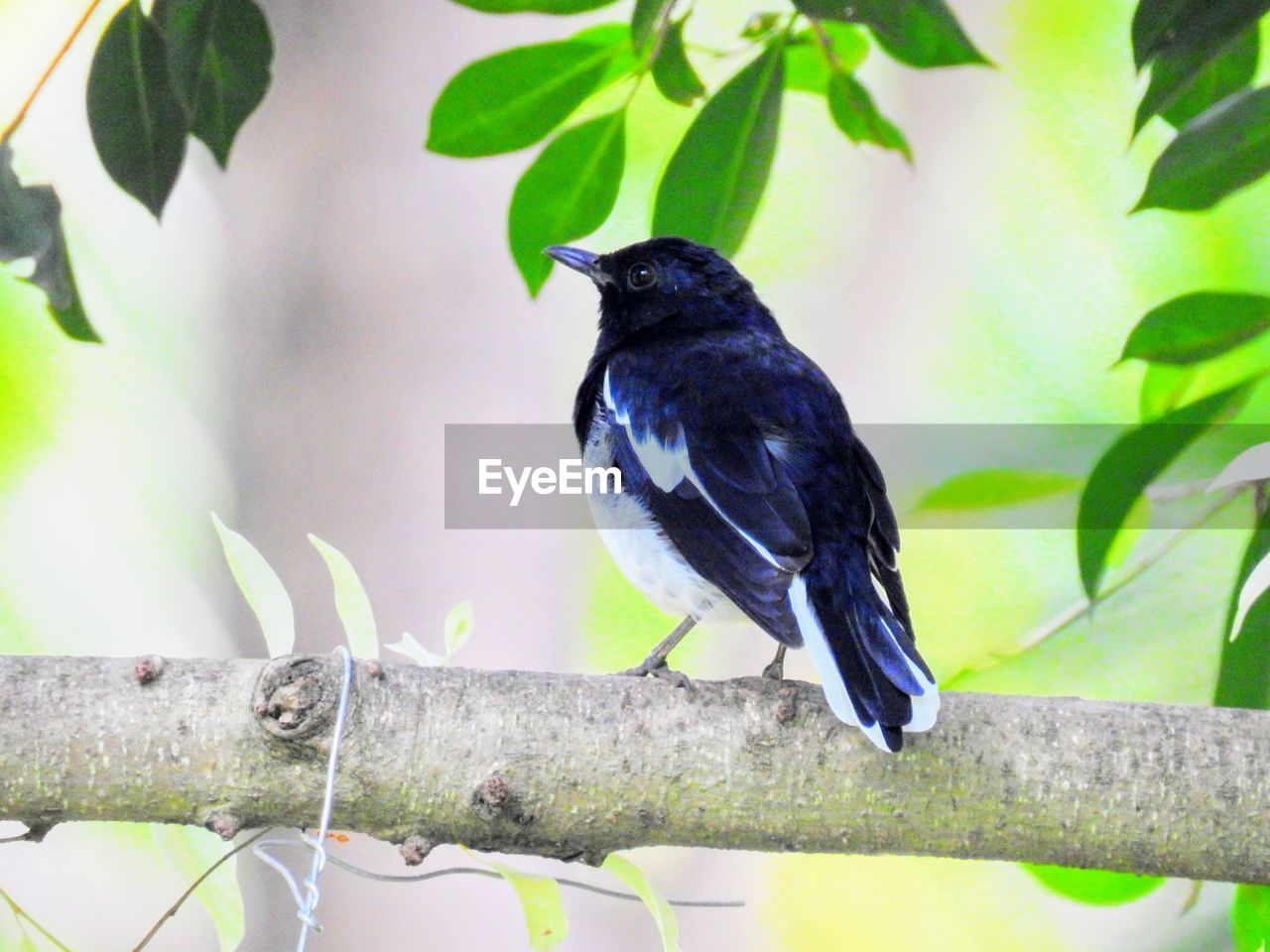 one animal, bird, animal themes, perching, animals in the wild, leaf, branch, black color, day, full length, animal wildlife, no people, tree, nature, outdoors, close-up, raven - bird
