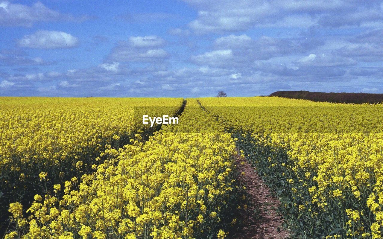 agriculture, field, crop, yellow, farm, landscape, rural scene, nature, sky, scenics, growth, beauty in nature, tranquil scene, tranquility, cloud - sky, oilseed rape, no people, day, plant, outdoors, flower