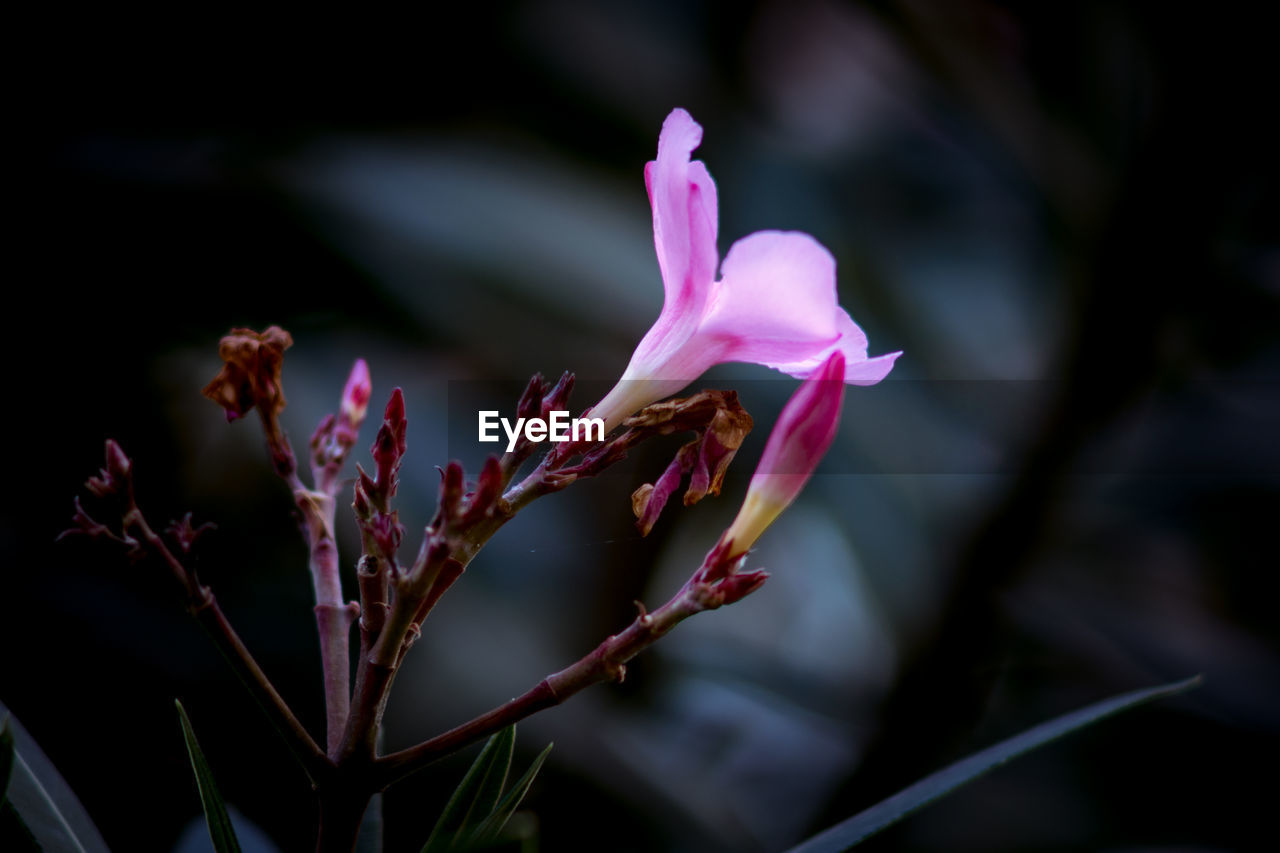 flower, petal, nature, growth, beauty in nature, fragility, plant, no people, flower head, focus on foreground, outdoors, freshness, close-up, pink color, blooming, day