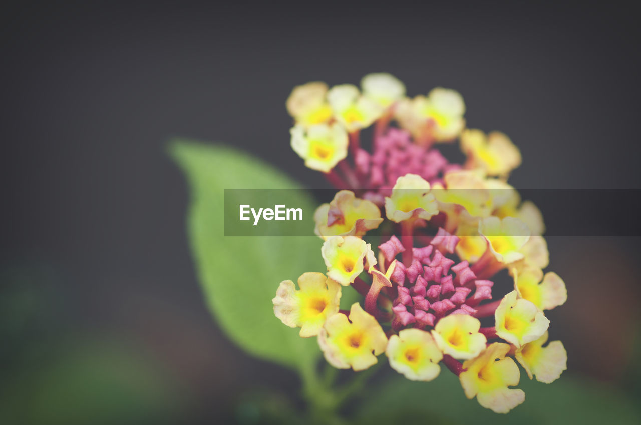 flowering plant, flower, freshness, vulnerability, fragility, beauty in nature, plant, close-up, petal, growth, flower head, pink color, inflorescence, lantana, focus on foreground, nature, no people, selective focus, day, outdoors