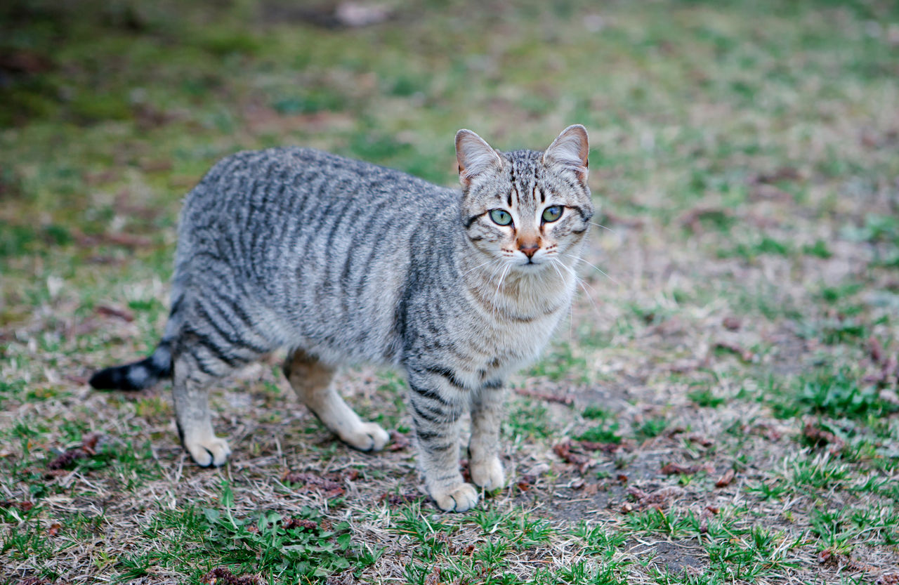 mammal, one animal, feline, cat, pets, looking at camera, portrait, no people, focus on foreground, domestic animals, nature, day, standing, domestic, plant, alertness, grass, tabby, whisker