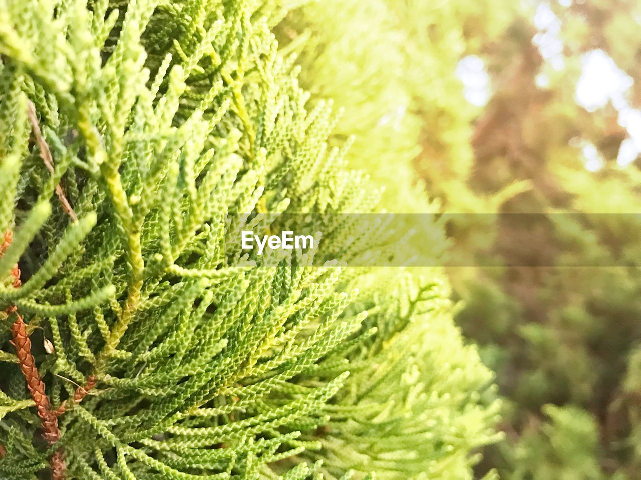 green color, plant, growth, beauty in nature, day, close-up, nature, leaf, no people, plant part, focus on foreground, tree, outdoors, freshness, selective focus, full frame, sunlight, tranquility, pine tree, green, coniferous tree, leaves, fir tree