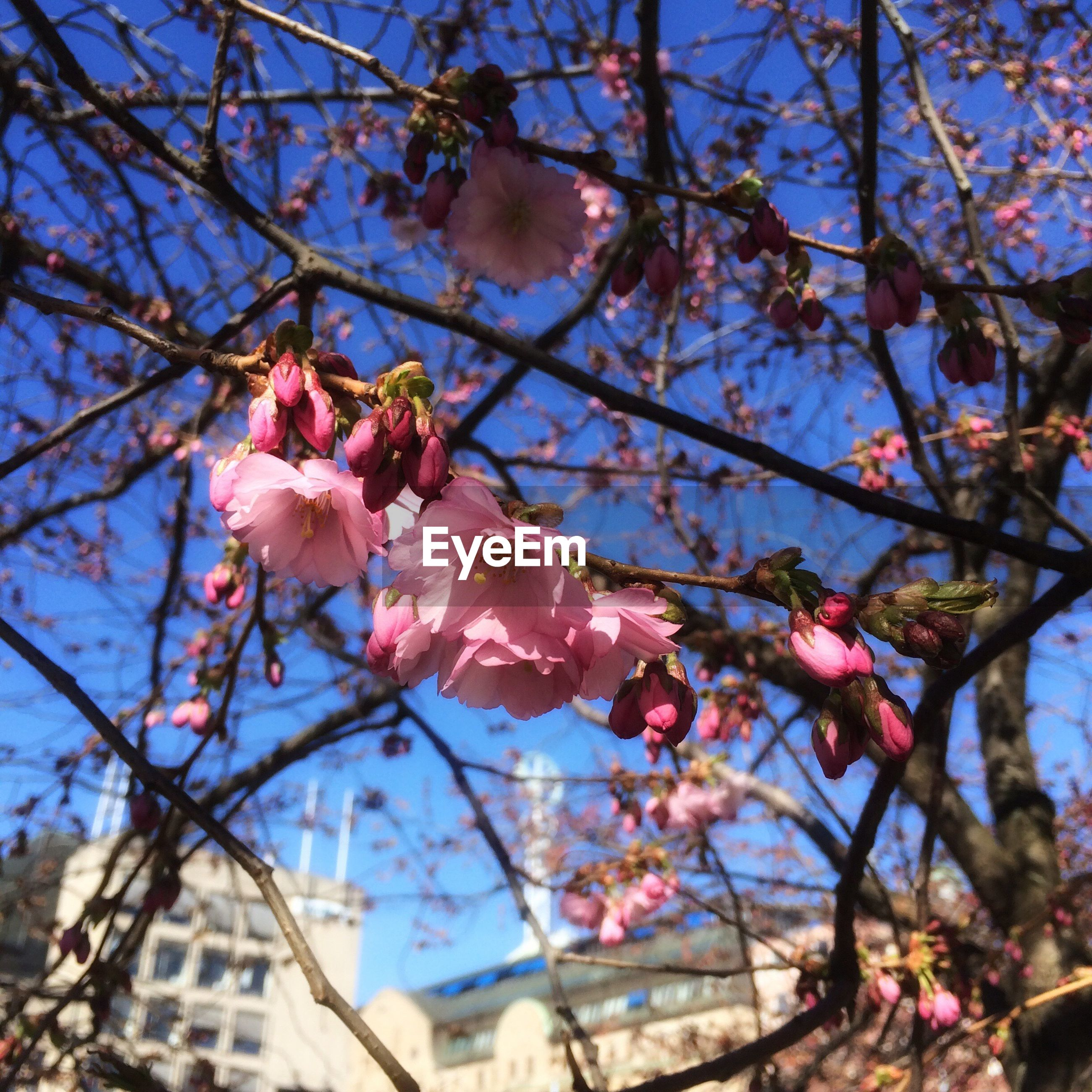 flower, low angle view, branch, tree, freshness, fragility, pink color, sky, blossom, cherry tree, growth, cherry blossom, petal, nature, built structure, beauty in nature, building exterior, architecture, blooming, in bloom