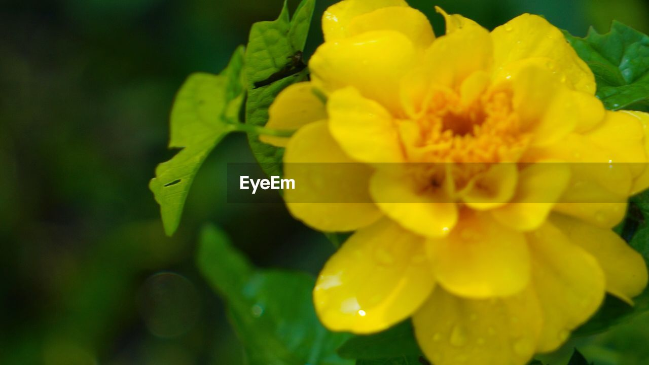 flower, petal, beauty in nature, freshness, fragility, yellow, nature, flower head, growth, plant, drop, close-up, green color, no people, outdoors, blooming, day, leaf, water