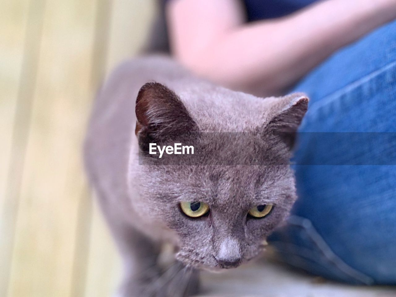 mammal, one animal, domestic animals, feline, pets, domestic, domestic cat, cat, vertebrate, close-up, focus on foreground, people, portrait, indoors, looking at camera, sitting, looking, whisker, animal eye