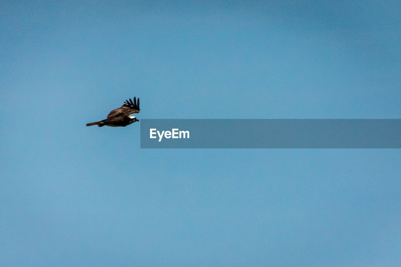 Low Angle View Of Osprey Flying Against Clear Blue Sky