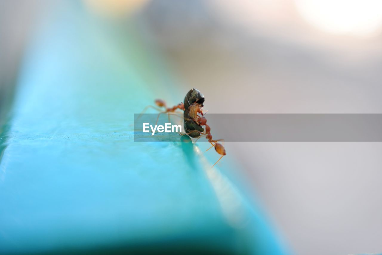 Close-Up Of Ants Hunting Insect On Railing