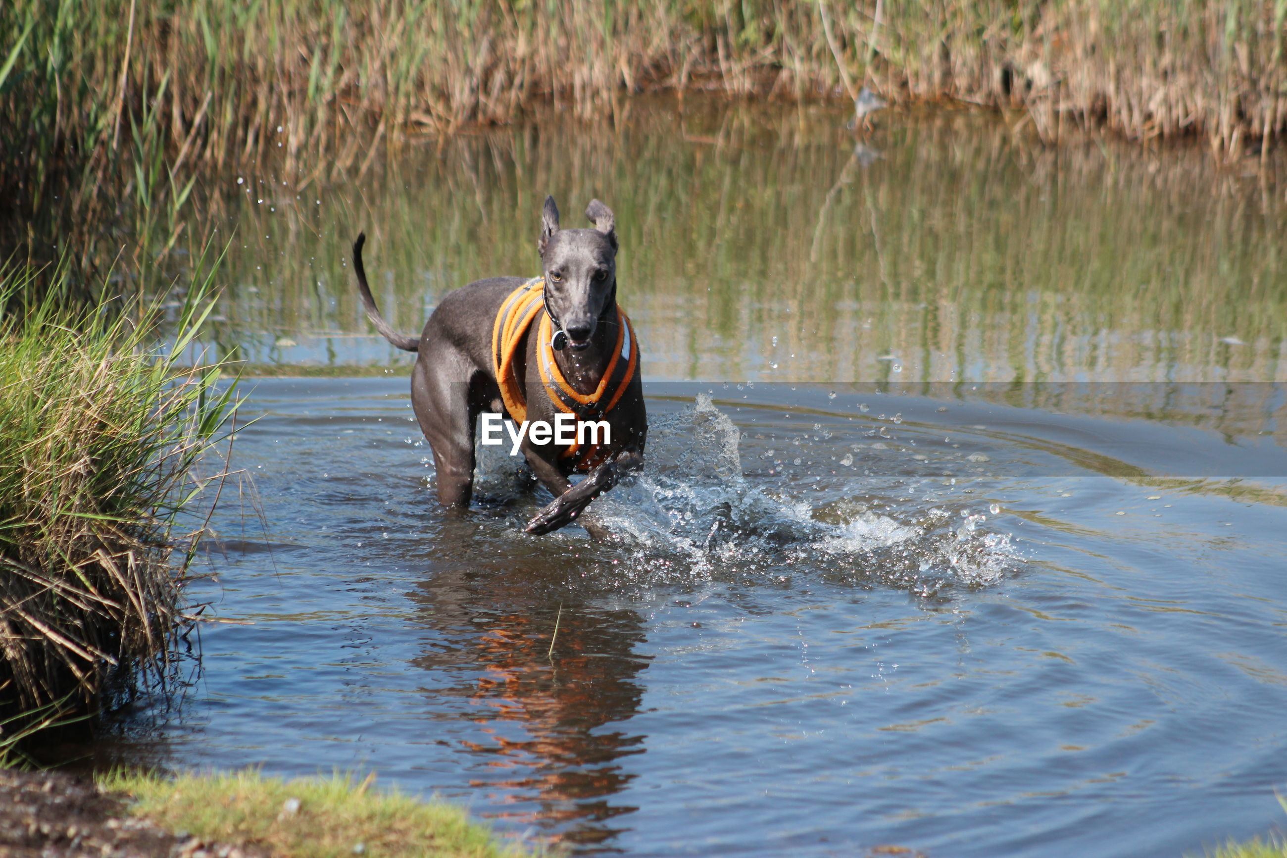 Dog playing in pond