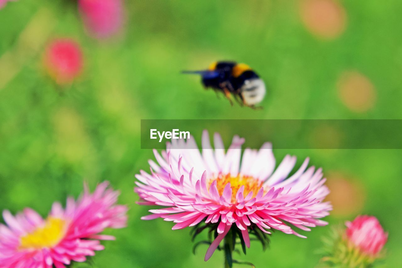 flowering plant, flower, insect, invertebrate, plant, petal, beauty in nature, one animal, fragility, vulnerability, animal themes, animals in the wild, animal, flower head, freshness, animal wildlife, close-up, growth, bee, inflorescence, pink color, pollination, no people, pollen, bumblebee