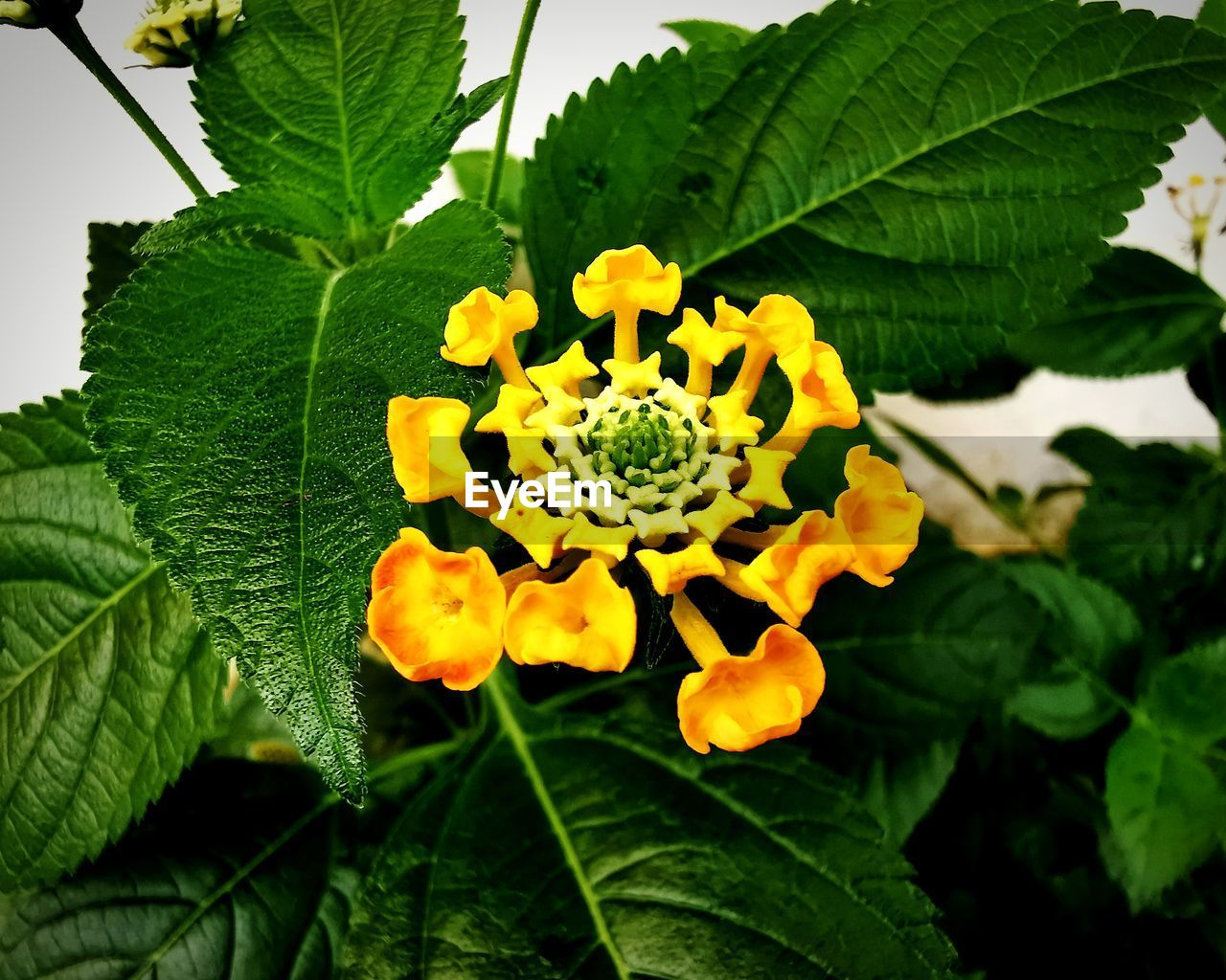 plant, leaf, plant part, growth, flower, flowering plant, freshness, beauty in nature, close-up, fragility, petal, yellow, flower head, vulnerability, green color, nature, inflorescence, day, focus on foreground, no people, lantana, outdoors, pollen