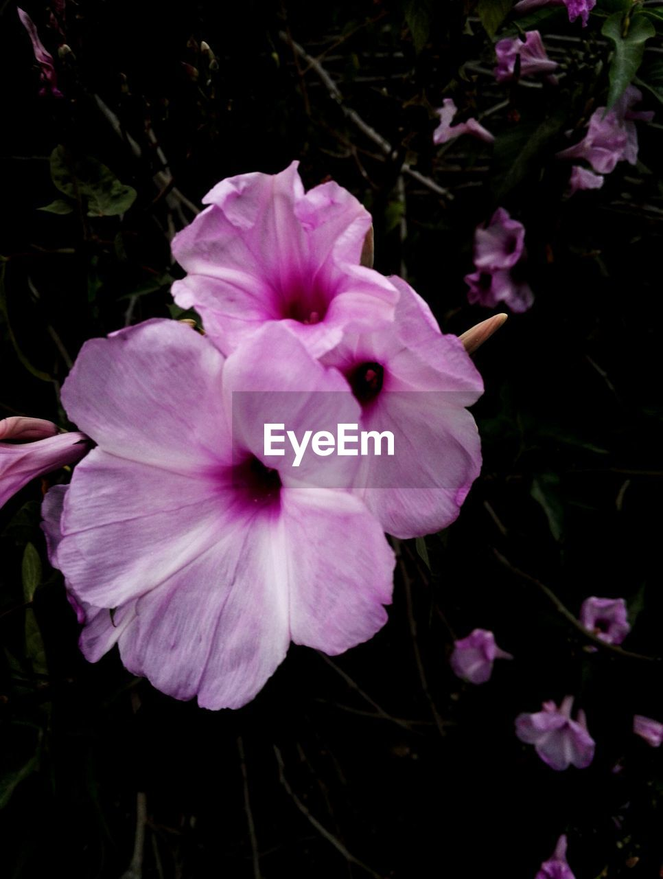 flower, petal, fragility, flower head, beauty in nature, growth, plant, nature, freshness, purple, blooming, pink color, no people, day, outdoors, periwinkle, petunia, close-up