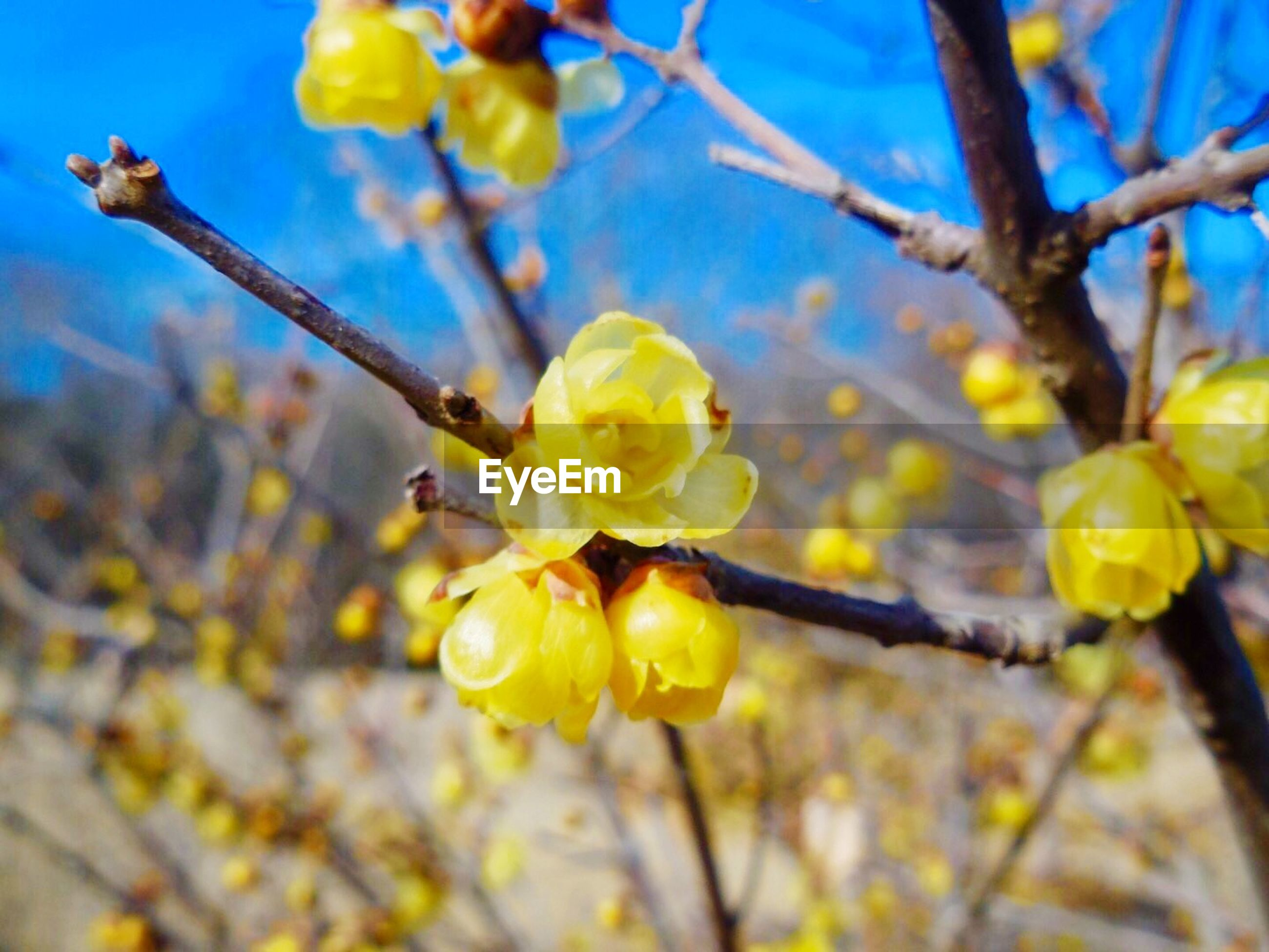 branch, tree, flower, yellow, freshness, growth, low angle view, nature, focus on foreground, close-up, fragility, beauty in nature, fruit, twig, day, outdoors, sunlight, blossom, clear sky, sky