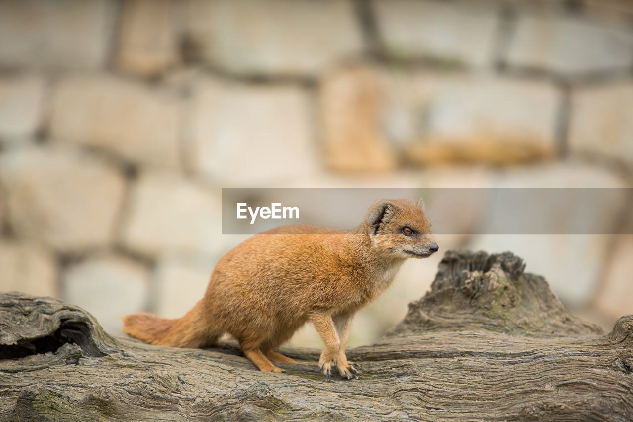 animal, animal themes, mammal, focus on foreground, one animal, vertebrate, animal wildlife, no people, rock, animals in the wild, solid, rock - object, rodent, day, nature, outdoors, looking, full length, close-up, squirrel