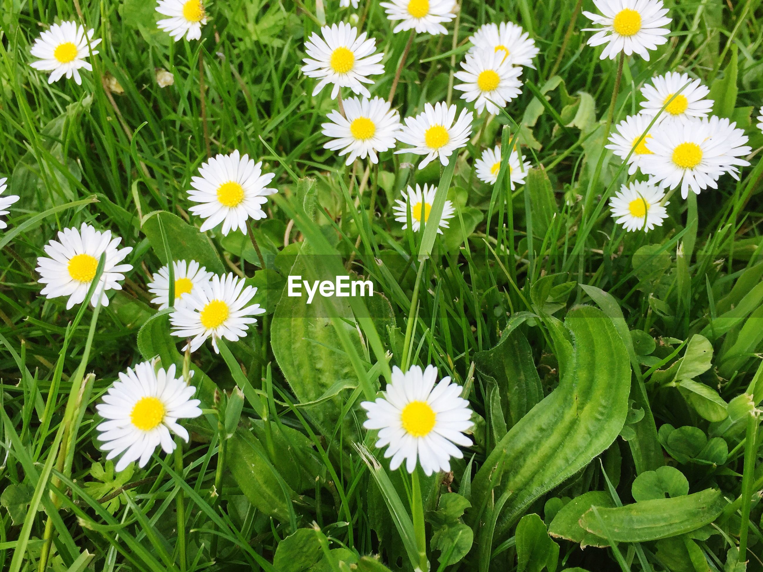 CLOSE-UP OF WHITE DAISY FLOWERS BLOOMING IN PARK