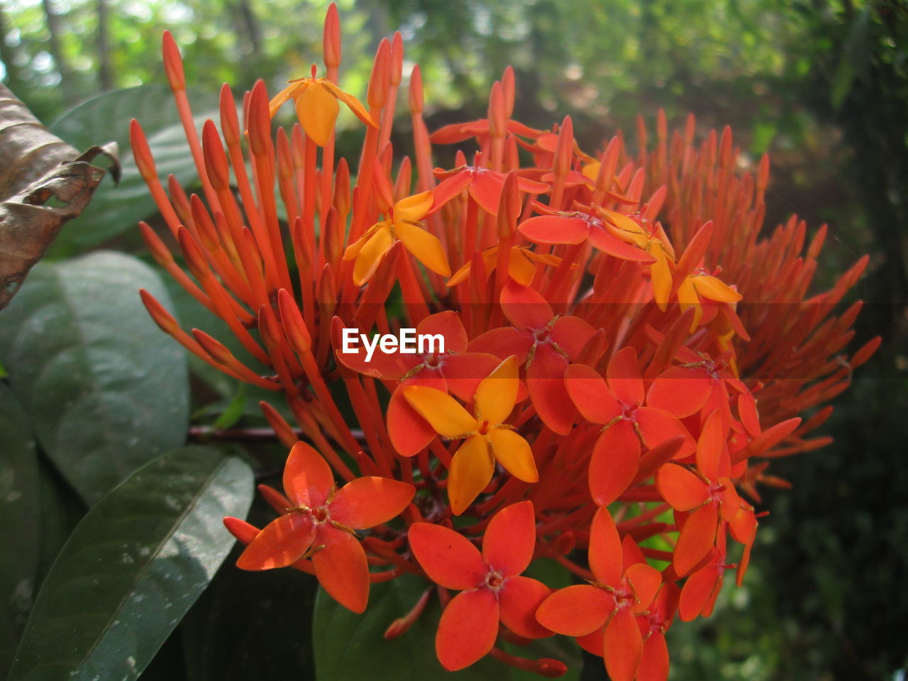 flower, petal, beauty in nature, fragility, freshness, flower head, nature, growth, blooming, plant, orange color, ixora, focus on foreground, day, outdoors, park - man made space, close-up, no people