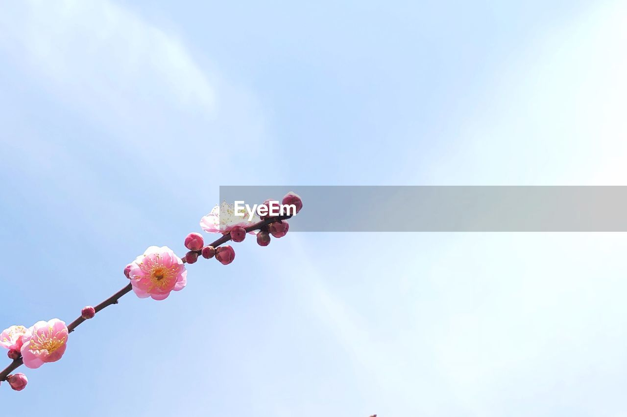 flower, fragility, low angle view, nature, beauty in nature, pink color, no people, freshness, outdoors, day, growth, springtime, plant, sky, branch, close-up, tree